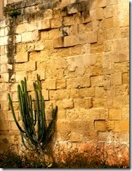 Malta-City-Wall-cactus
